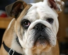 220px-Clyde_The_Englisch_Bulldog.jpg