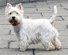 300px-West_Highland_White_Terrier_Krakow.jpg