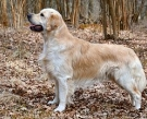 300px-Golden_retriever.jpg